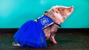 emotional-support-pig-having family